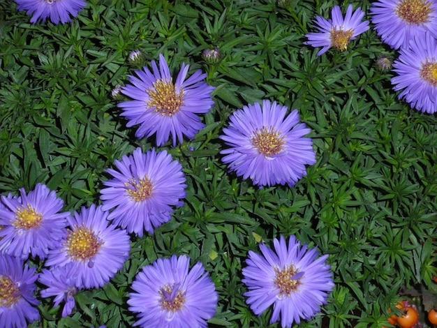 Autunno aster viola flora astri pianta fiore scaricare - Aster pianta ...