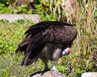 Avvoltoio uccello appollaiato Foto Gratuite