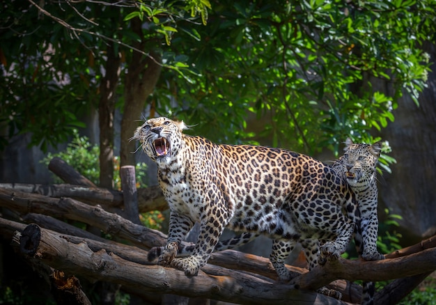 Azioni di ruggito di leopardo in atmosfera naturale. Foto Premium