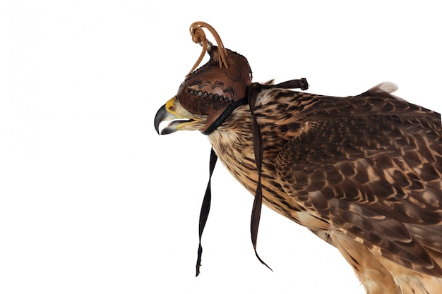 Azor indossa una maschera da falconiere Foto Premium
