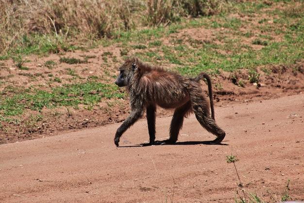 Babbuino su safari in kenia e tanzania, africa Foto Premium
