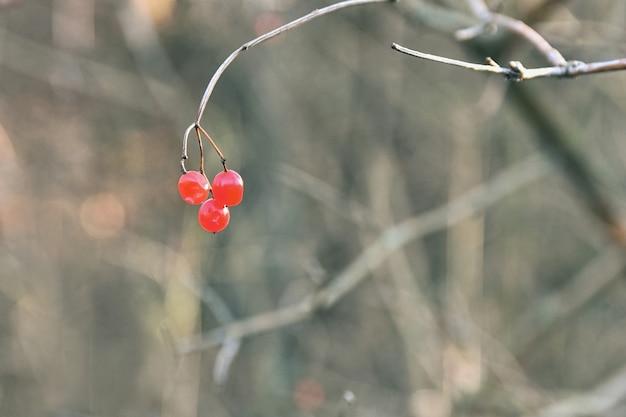 Bacche rosse per uccelli su un ramo di un albero. Foto Gratuite