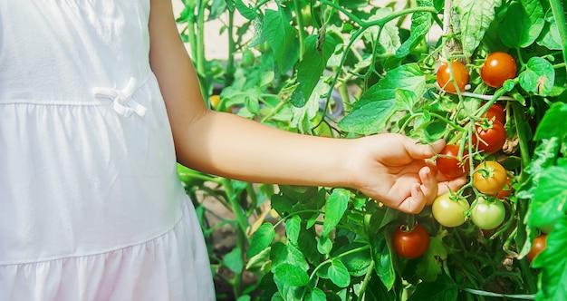 Bambino raccoglie un raccolto di pomodori fatti in casa. messa a fuoco selettiva. Foto Premium