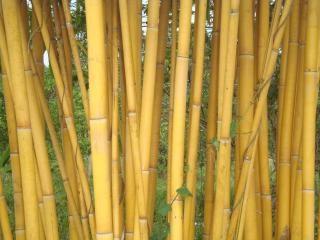 Bambù dorato Foto Gratuite