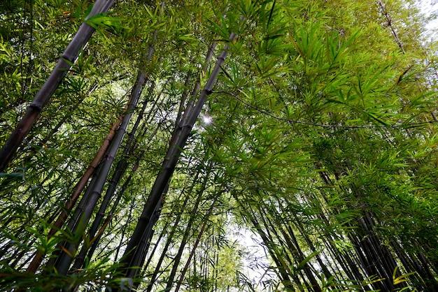 Bambù. foresta di bambù. sfondo. spazio per il tuo testo Foto Premium