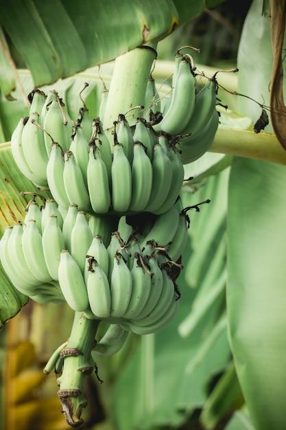 Banana verde su un albero di banane Foto Premium
