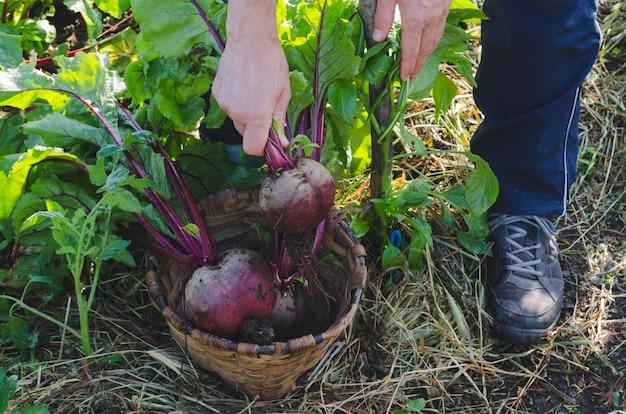 Barbabietole da raccolta per agricoltori. Foto Premium