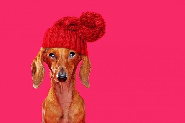 Bassotto divertente che porta il cappello rosso di inverno Foto Premium