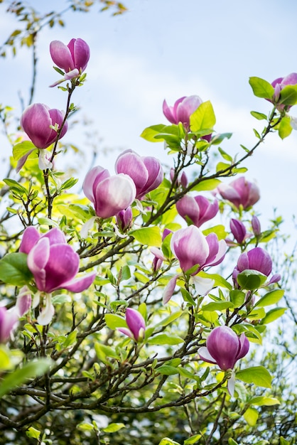 Beautifull light pink / purple magnolia tree Foto Premium