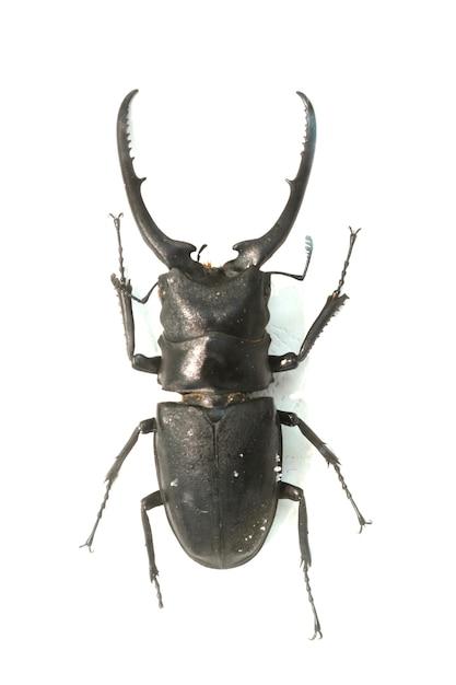 Beetle con lunghe corna spinato Foto Gratuite