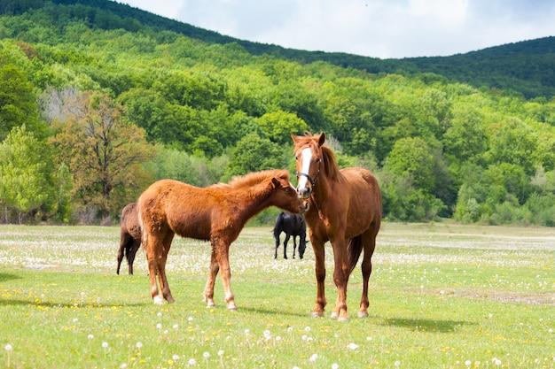 Bei cavalli marroni e neri che mangiano erba e che pascono in un prato e in un campo verde. Foto Premium