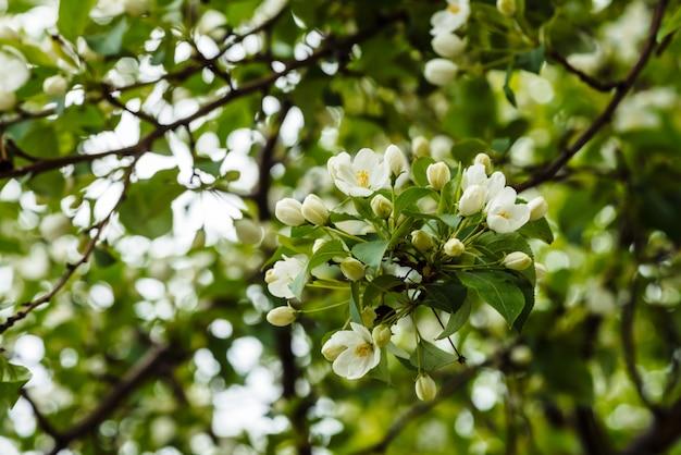 Bei fiori del primo piano di cerasus dell'albero Foto Premium