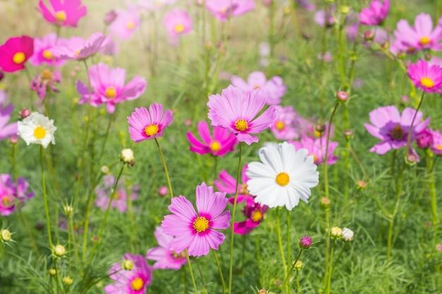 Bei fiori dell'universo nella stagione estiva Foto Premium