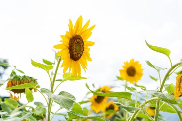 Bei grandi fiori del sole nella fine del giardino su. Foto Premium