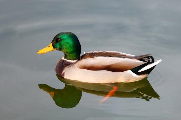 Bella anatra nuoto in un lago Foto Premium