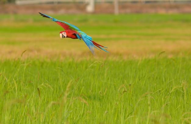Bella azione di volo dell'uccello del macaw nel campo Foto Premium