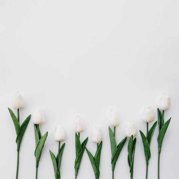 Bella composizione con bellissimi tulipani su sfondo bianco con spazio in cima Foto Gratuite
