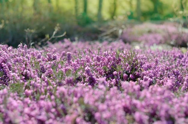 Bella copertura di erica viola in un campo pieno di luce del sole primaverile. Foto Premium