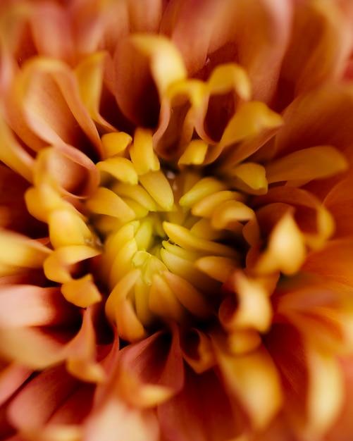 Bella crisantemo macro Foto Gratuite
