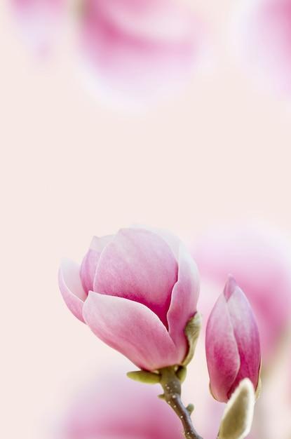 Bella fioritura del fiore della magnolia rosa. Foto Premium