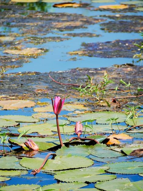Bella natura rosa waterlily fiore o fiore di loto e pianta di loto, foglia di loto sulla superficie dell'acqua nel lago o stagno Foto Premium