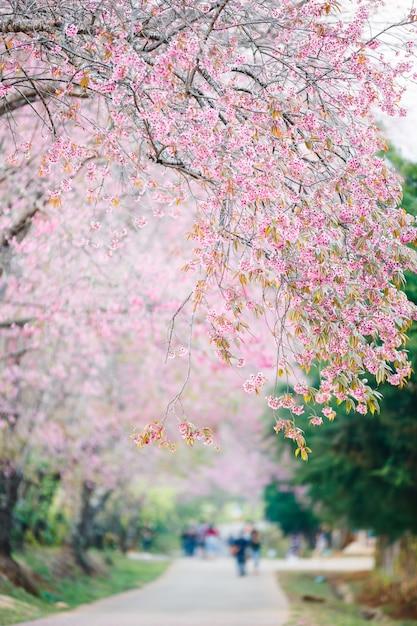 Bella passerella sotto il sakura o fioritura dei ciliegi, chiag mai Foto Premium