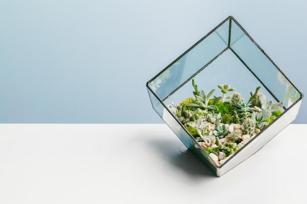 Bella succulenta sul blu. Foto Premium