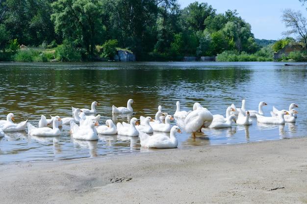 Belle oche bianche in una giornata di sole. uno stormo di uccelli riposa sulla riva del fiume. uccelli acquatici domestici. Foto Premium