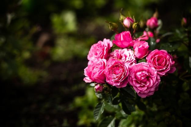 Belle rose in giardino. cespuglio di rose rosa sopra il giardino o il parco di estate Foto Premium
