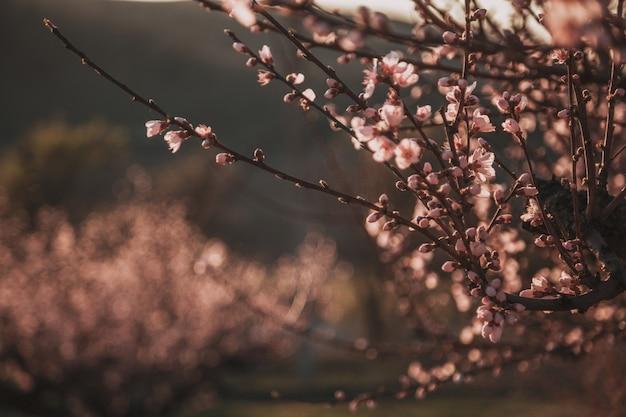 Bellissima pesca. sfondo con fiori in una giornata di primavera, tramonto Foto Premium