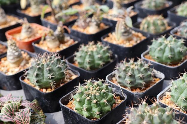Bellissimo cactus da vendere Foto Premium