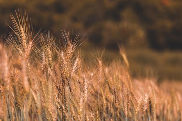 Bellissimo campo d'orzo nel tramonto Foto Premium