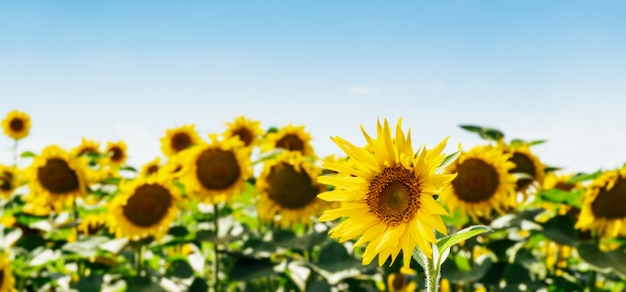 Bellissimo campo di girasoli contro il cielo e le nuvole. molti fiori gialli su sfondo blu con spazio per il testo. Foto Premium