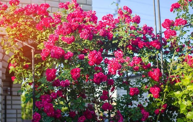 Bellissimo cespuglio di rose rosa in un giardino di primavera in