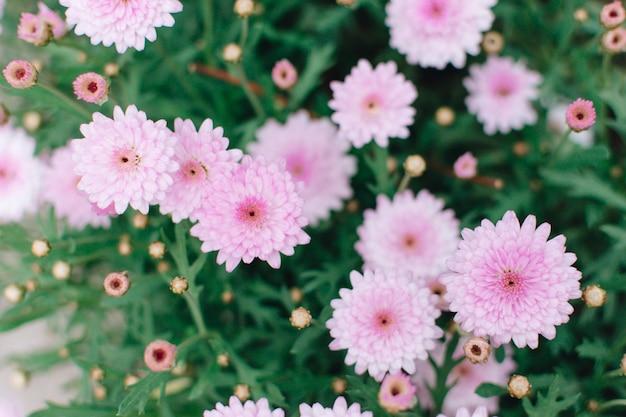 Bellissimo crisantemo rosa Foto Gratuite