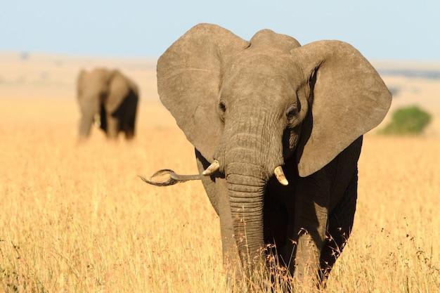 Bellissimo elefante con una zanna spezzata Foto Gratuite