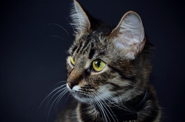 Bellissimo gatto grigio con gli occhi gialli Foto Premium