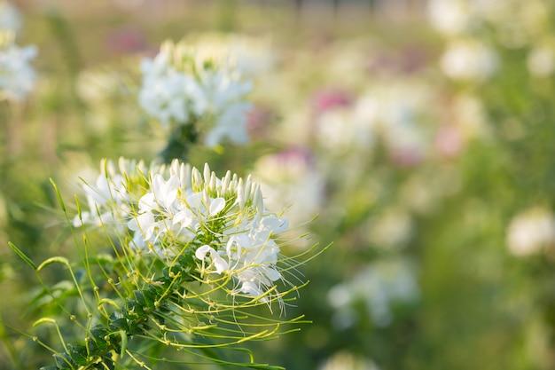 Bellissimo sfondo di fiori bianchi. Foto Gratuite