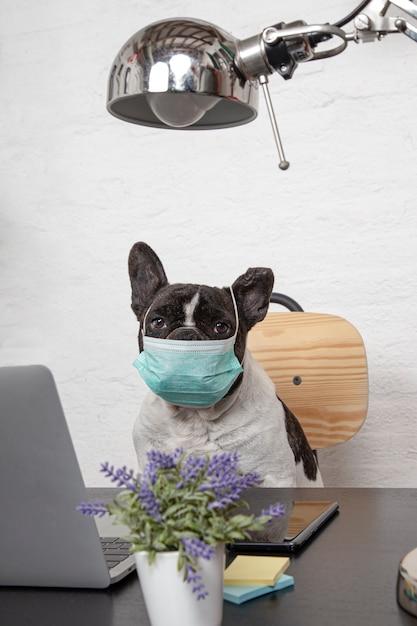 Bello bulldog francese con la maschera medica protettiva che funziona dal suo computer a casa. Foto Premium