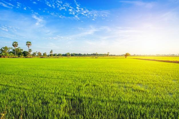 Bello campo di mais verde con il cielo di tramonto. Foto Premium