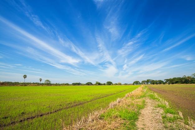 Bello campo di mais verde con il cielo lanuginoso delle nuvole. Foto Premium