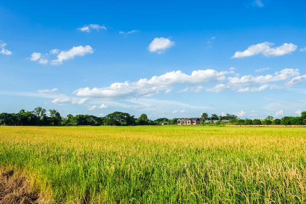 Bello campo di mais verde con il fondo del cielo delle nuvole Foto Premium