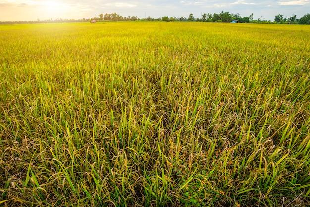 Bello campo di mais verde con il fondo del cielo di tramonto Foto Premium