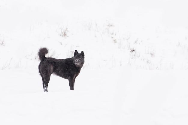 Bello cane nero che cammina sul campo nevoso nella foresta di inverno Foto Premium