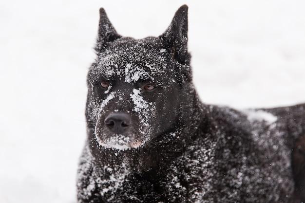 Bello cane nero che gioca con la neve sul campo nevoso nella foresta di inverno Foto Premium