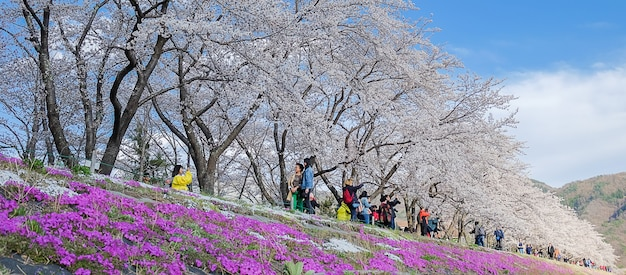 Bello cherry blossom rosa che fiorisce nel lago kawaguchiko Foto Premium