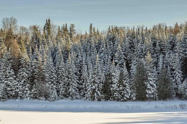 Bello colpo di una foresta di pini coperta di neve durante l'inverno Foto Gratuite