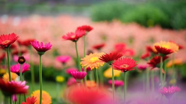 Bello fiore arancio, rosso e giallo della margherita della gerbera nel giardino. Foto Premium