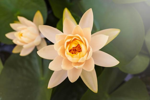 Bello fiore di loto bianco con la foglia verde dentro in stagno Foto Premium