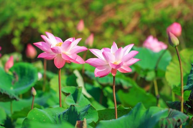 Bello fiore di loto rosa nella fioritura Foto Premium
